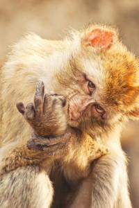 Monkey sticking up middle finger